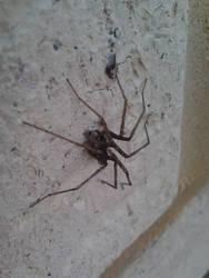 Large Sac Spider