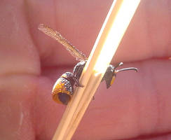 Paralastor Potter Wasp
