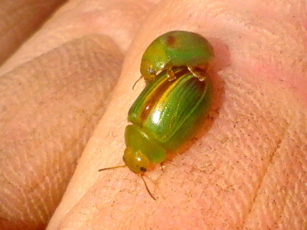 Peltoschema suturalis - Green Acacia Leaf Beetle by Drhoz