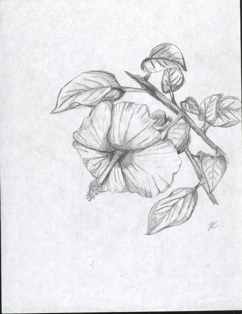 Hibiscus flower sketch by