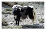 Black Tibetan Yak