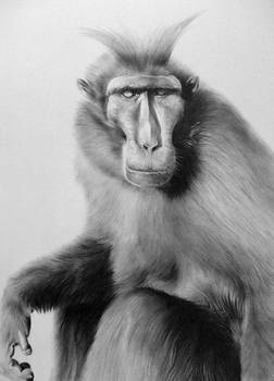 Mohican monkey