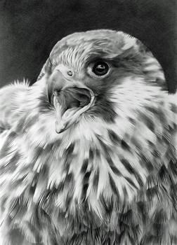 Feathery Falcon