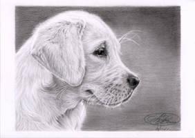 Chiot labrador by morvandelle