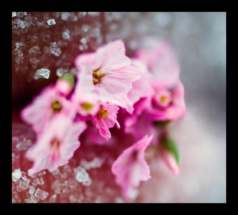 Pink Sugar by purplerose