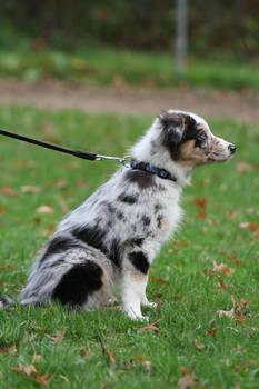 Autumn Festival- Australian Shepherd Pup