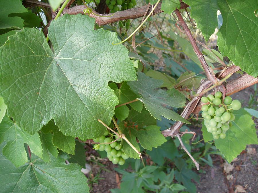 Grape Vein by Elliesmeria