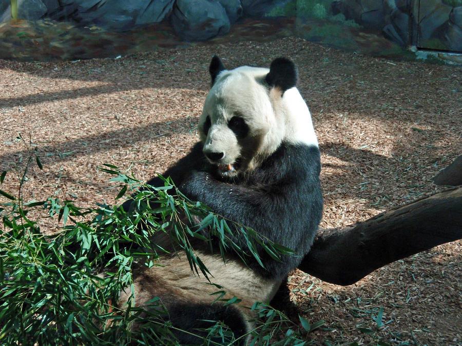 Omnomnomonom Panda! by Elliesmeria