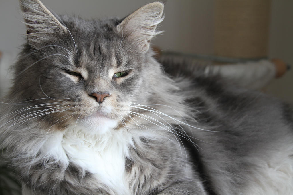 STOCK - Maine Coon Cat...