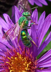 Sweat Bee #1