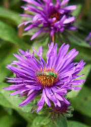 Sweat Bee #7 by JED1948