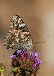 Painted Lady #36 by JED1948
