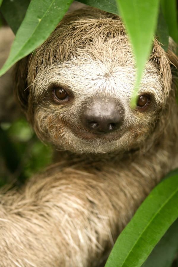 the three toed sloth essay The sloth's busy inner life image a three-toed juvenile sloth in costa rica  spare a minute from your frenetically busy day to consider the quite different life of the three-toed sloth.