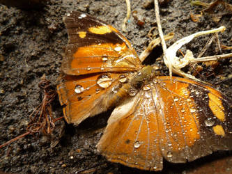 dead butterfly by right0lighto