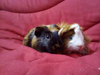 My Guinea Pigs ! (Mes cochons d'inde)