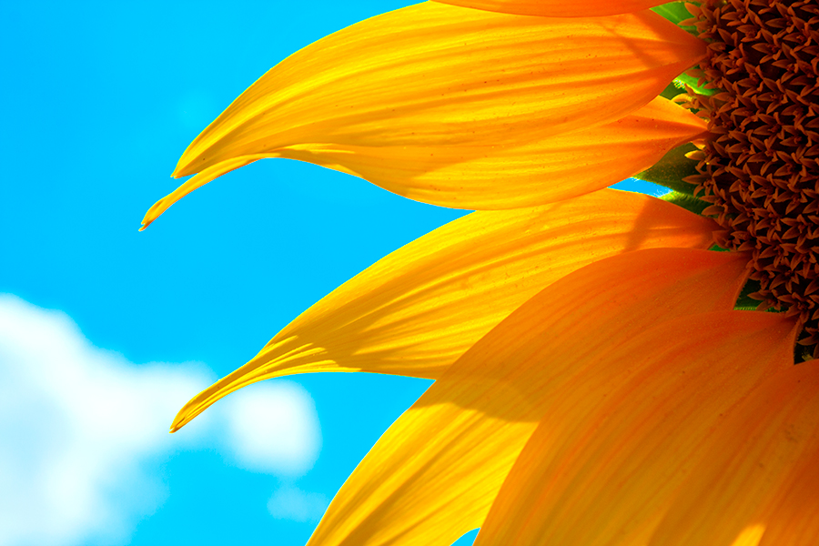 Sun flower by yoldju