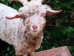 Fezzik the Goat