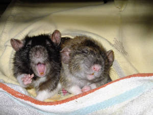 sleepy Rats yawn