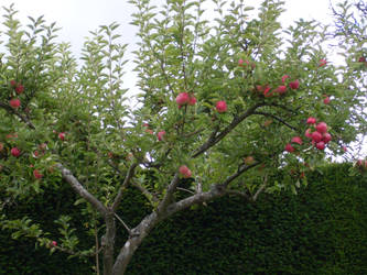 Rosy Red Apples