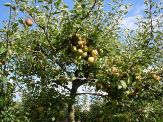 Apples Green