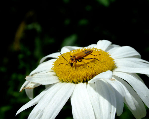 bugging a daisy by ikymagoo
