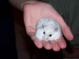 Hamster by Ragondin