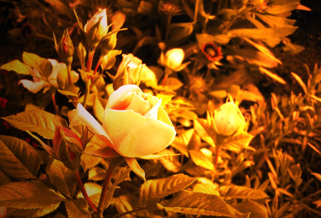 Golden roses by Destinaetus