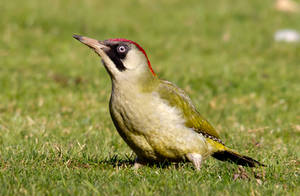 Green Woodpecker by adambrowning