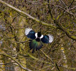 Magpie catching the sun