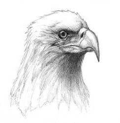 Bald Eagle by tad