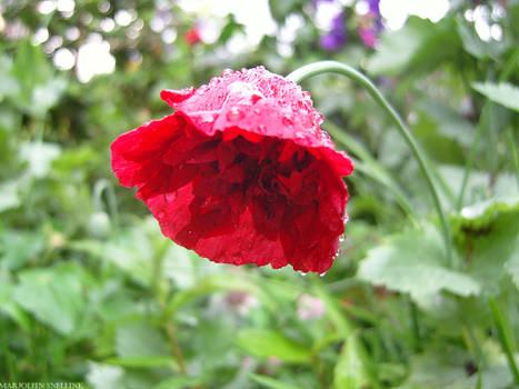 Flower in the rain.