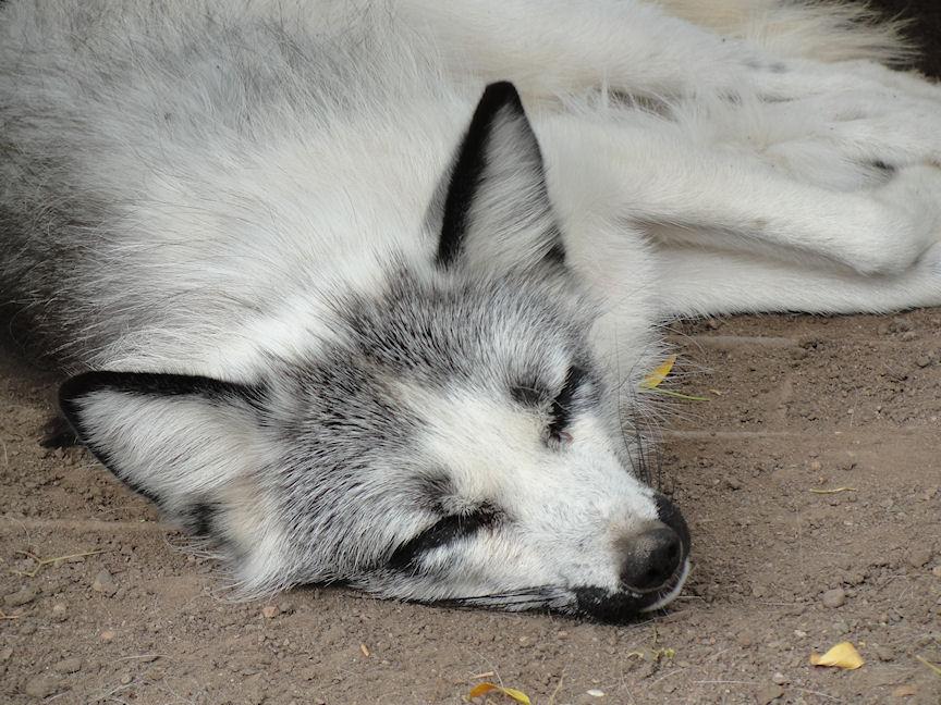 Arctic Fox Coloring Page
