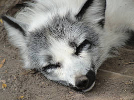 AlZ Aug28: Marble Fox 2 by FamilyCanidae