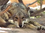 ALZ Apr5: Mexican Wolf 2