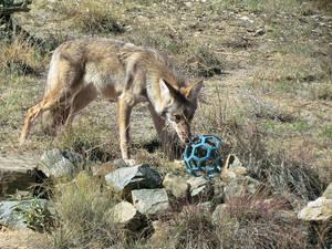 WW Oct21: Coyote 2