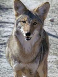 WW Oct21: Coyote 3