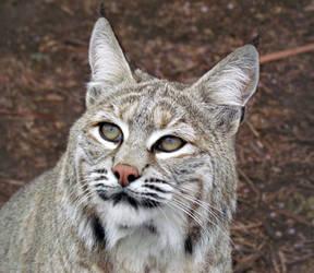 WW Oct27: Bobcat 1