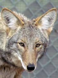 WW Oct27: Coyote 1