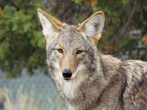 WW Oct27: Coyote 2