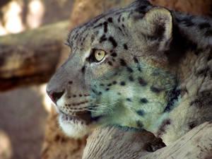Snow Leopard in desert sun