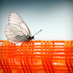 Papillon by ingue