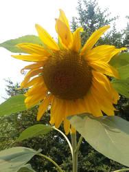 SunFlower by Kikipanda
