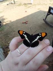 butterfly by Kikipanda