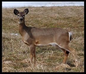 Deer,. by wormwood58
