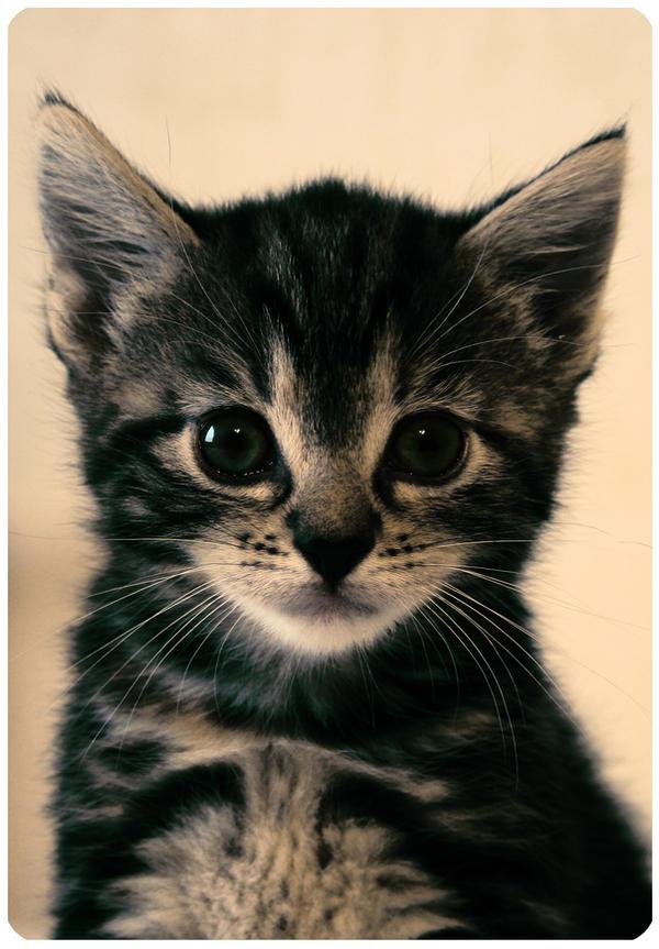 Kitten by Await