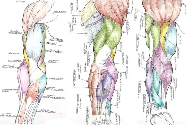 Anatomy\'s arms by Donovant on DeviantArt