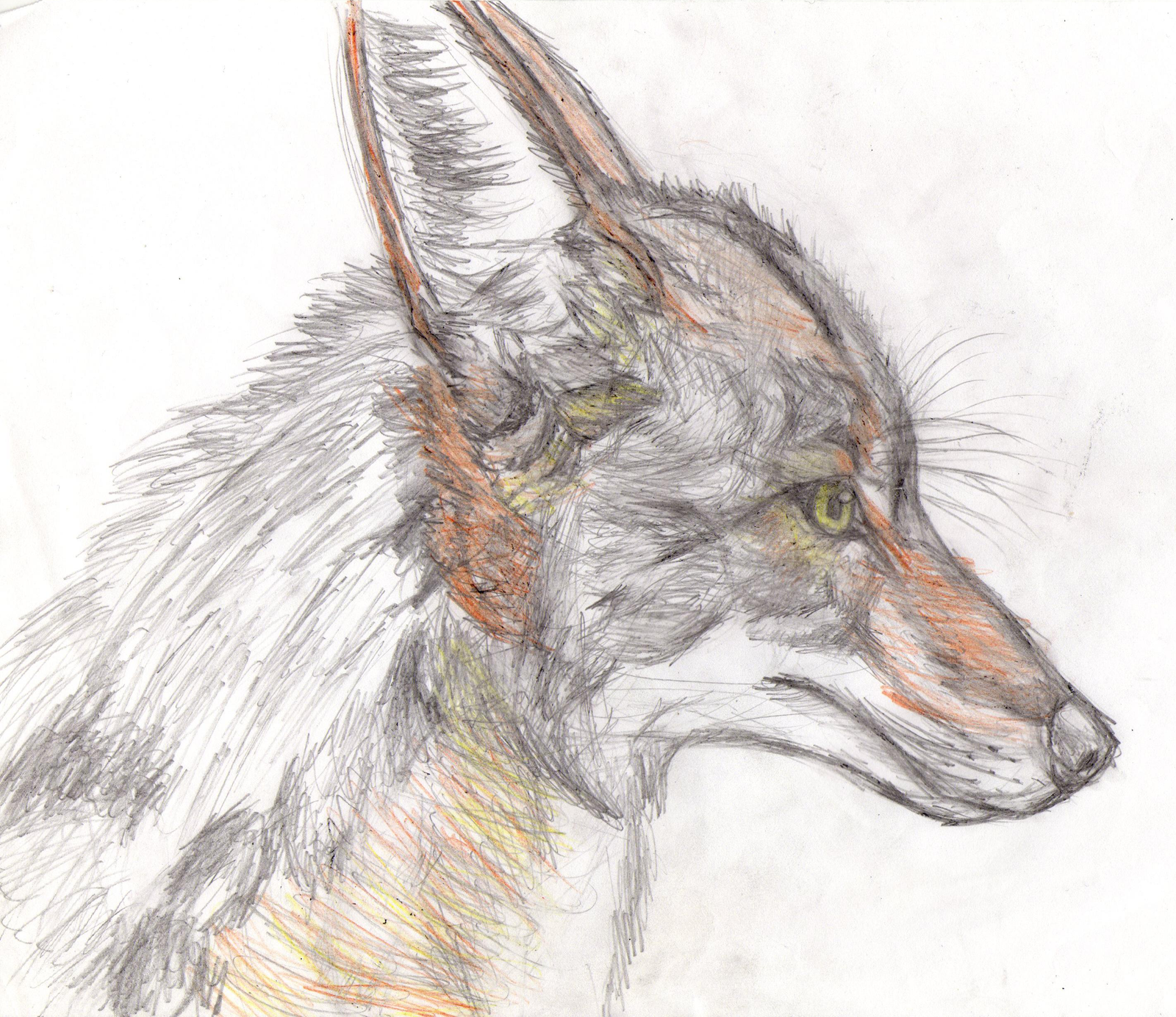 Coyote head drawing - photo#2
