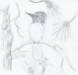 Speed Sketch - Stellar's Jay