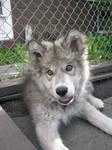 Tundra Timberwolf puppy-Stock