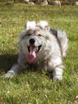 Six month old Pet wolf Diesel
